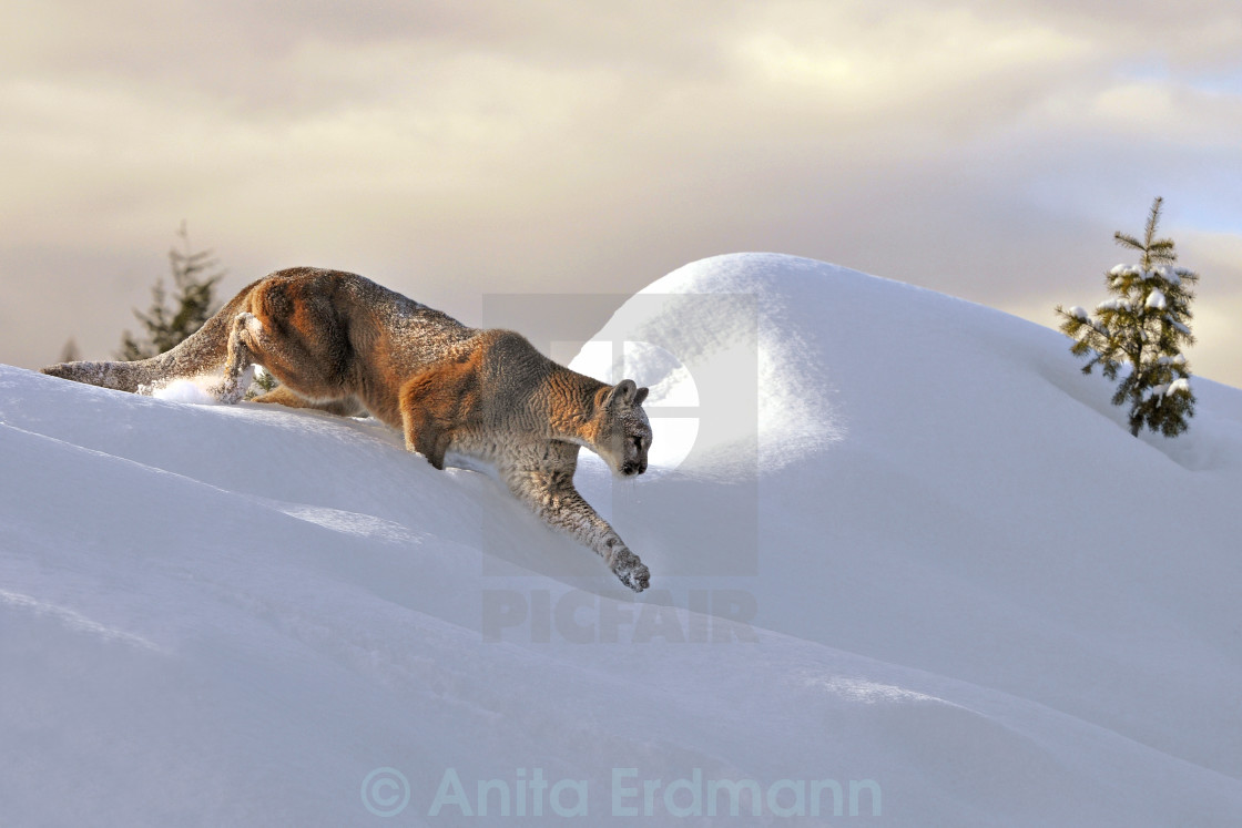 """Mountain Lion Cresting Ridge"" stock image"