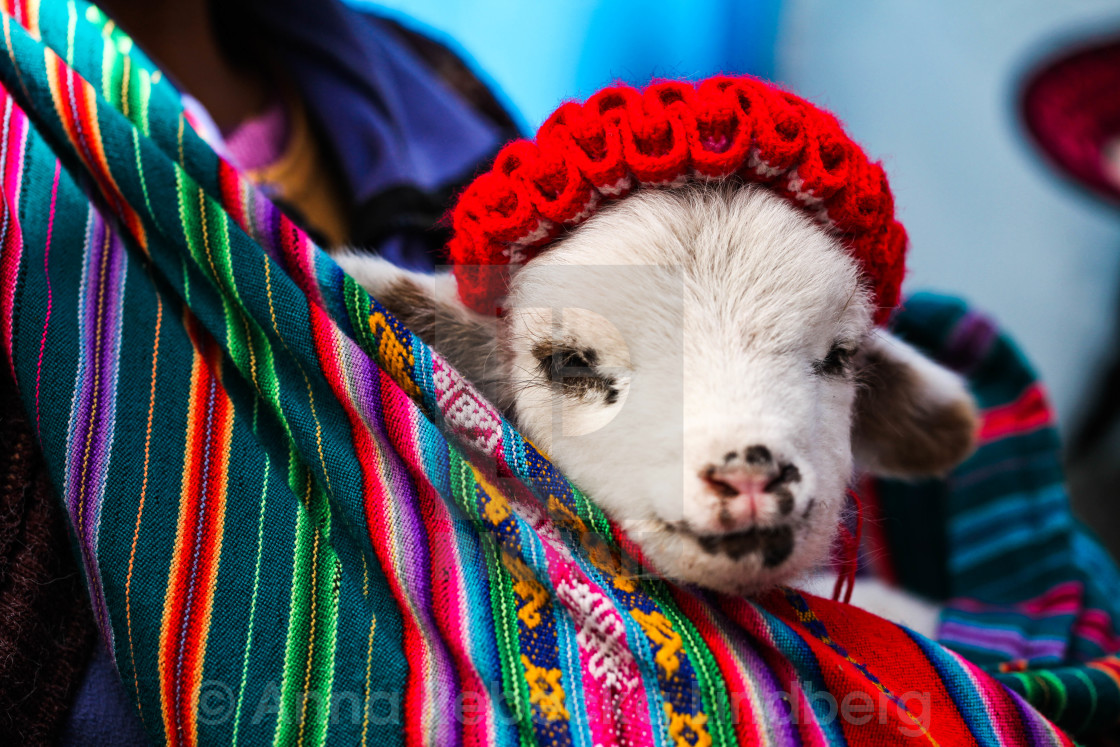 """Colorful Baby Alpaca"" stock image"