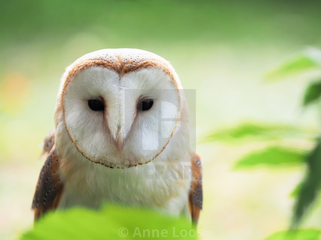 """""""Barn owl looking straight with eyes open"""" stock image"""