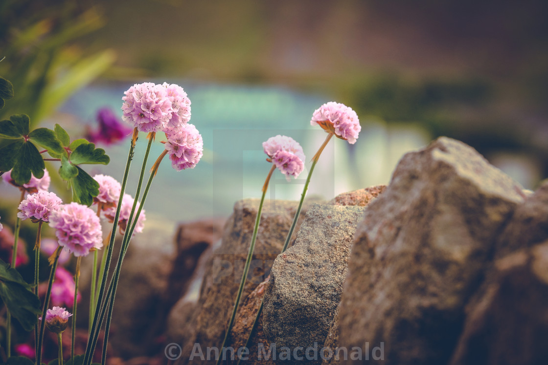 Sea Pinks Growing Near The Waterfront Digital Downloads Prints