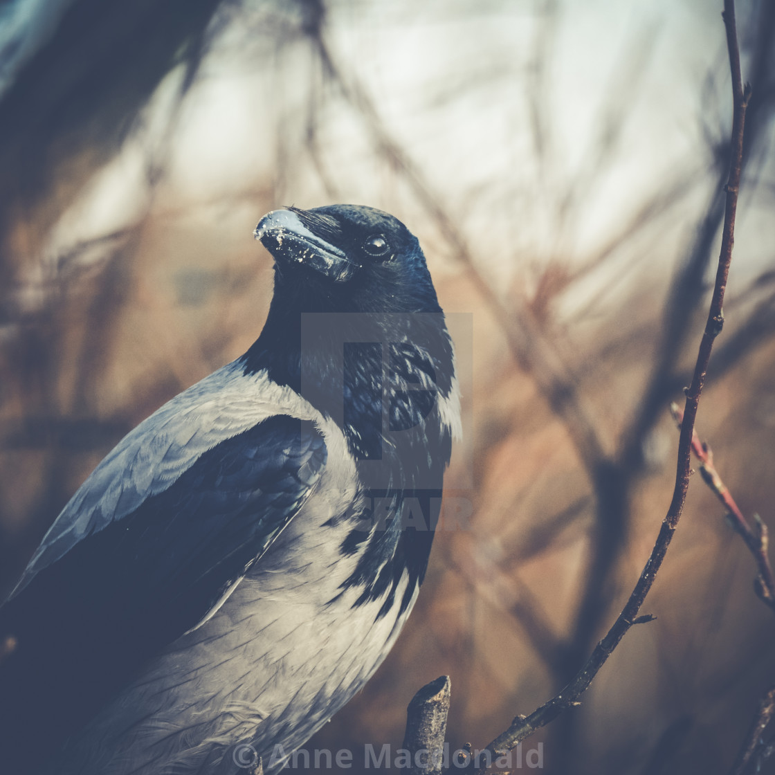 """Portrait Of A Crow"" stock image"