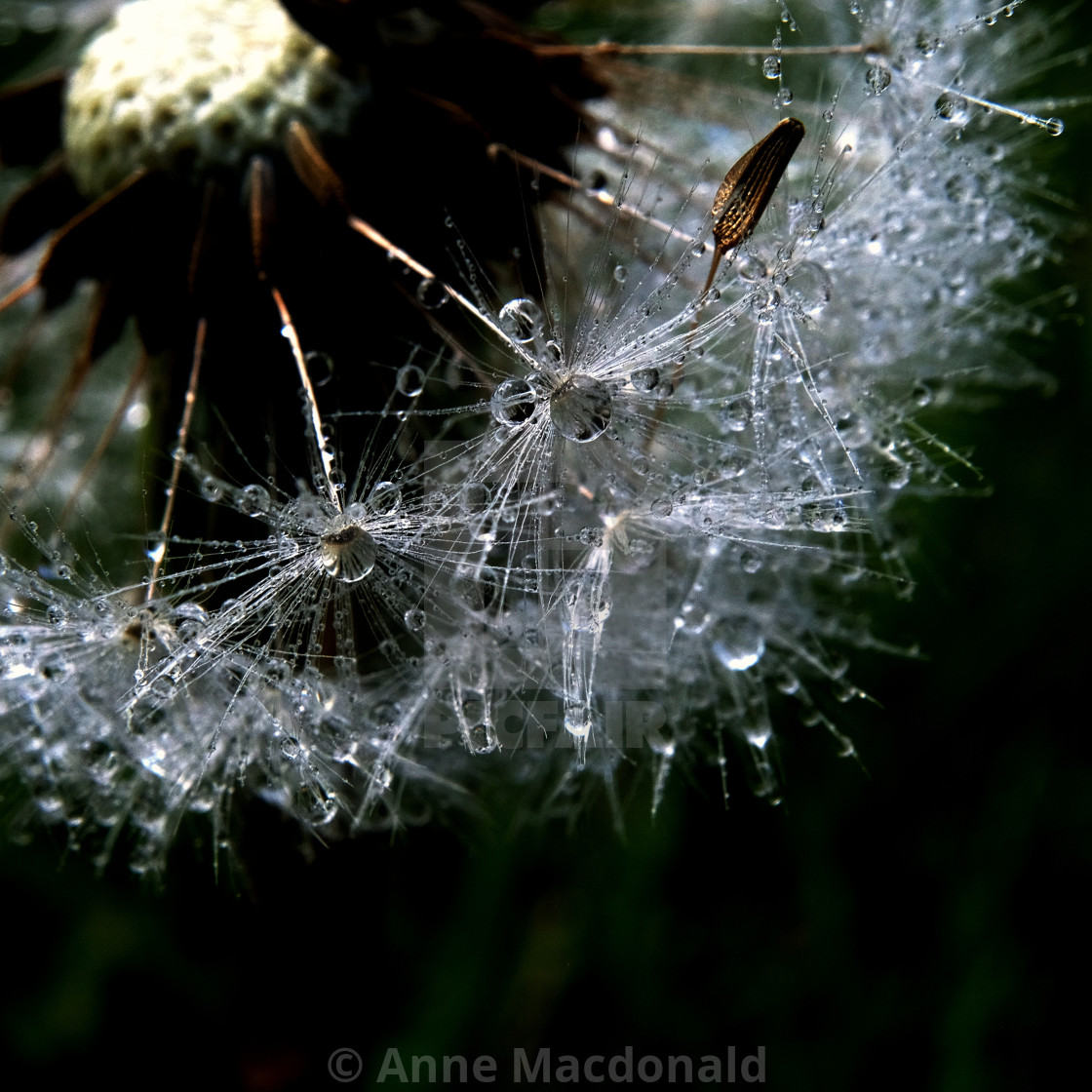 """Wet Dandelion Clock #3"" stock image"