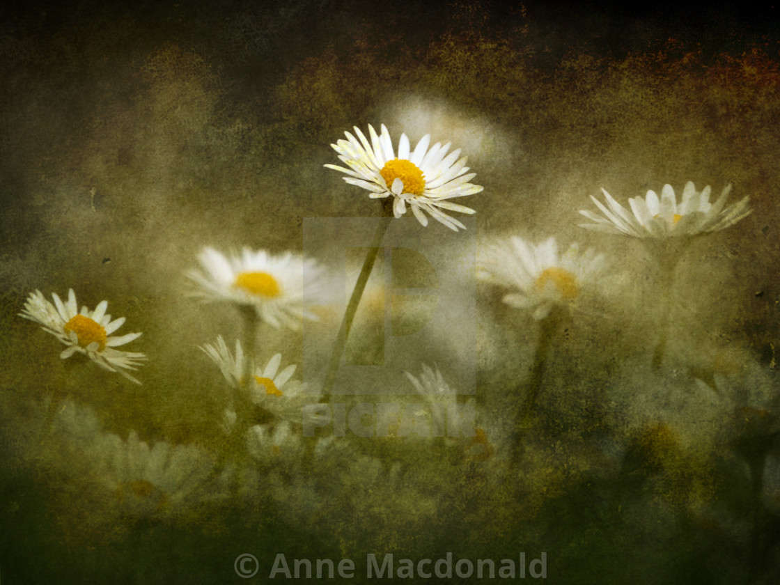 """Daisies Giving A Heads Up"" stock image"