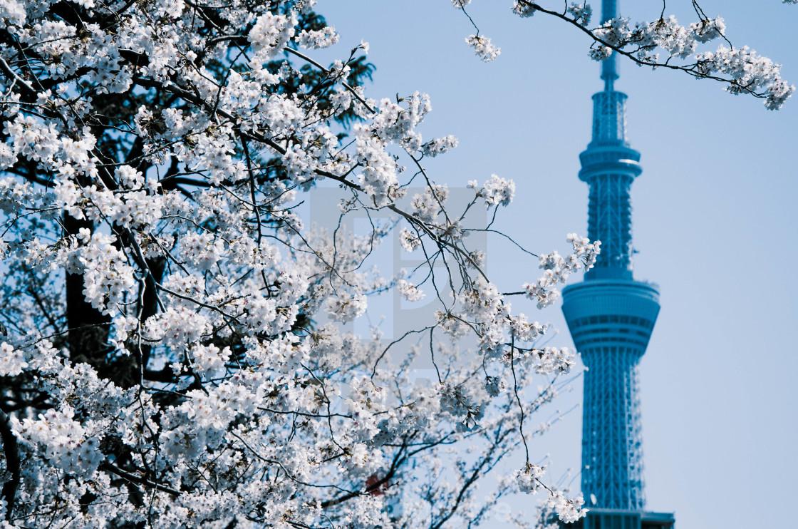 """""""Skytree tower with sakura tree 1"""" stock image"""