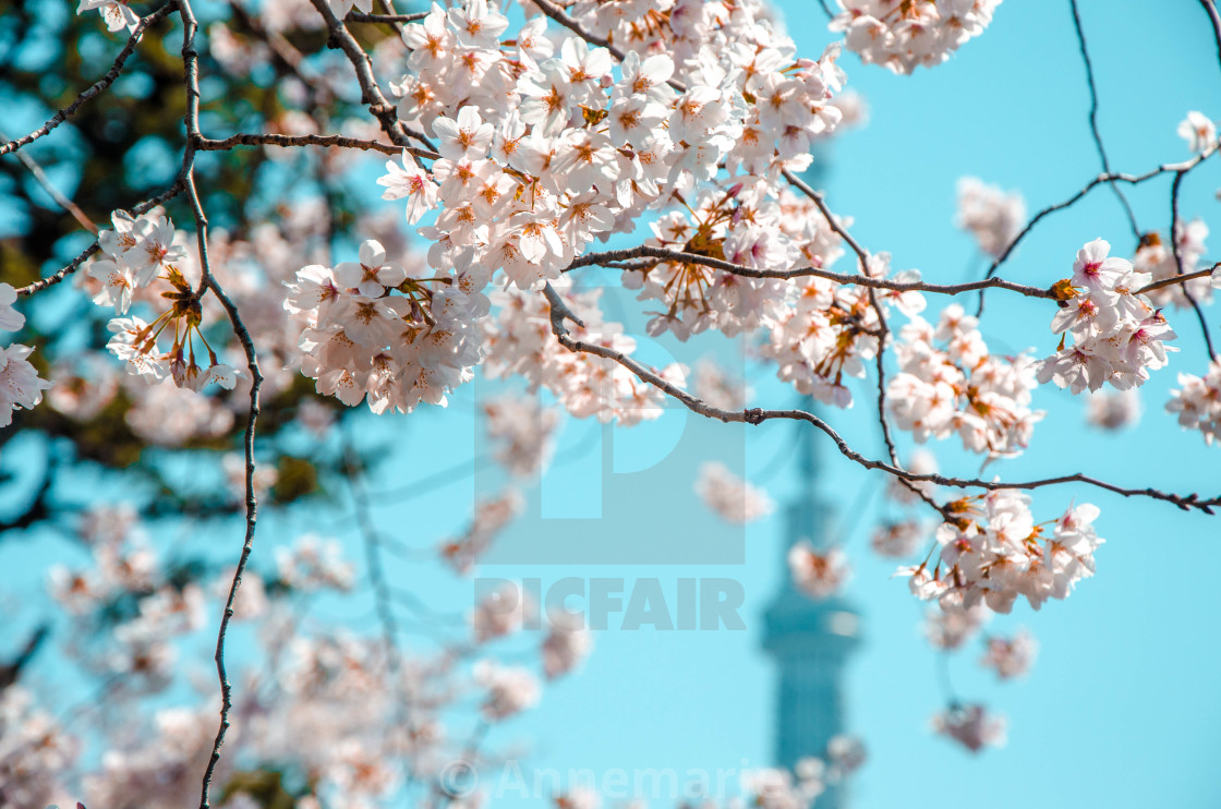 """Skytree tower with sakura tree 2"" stock image"