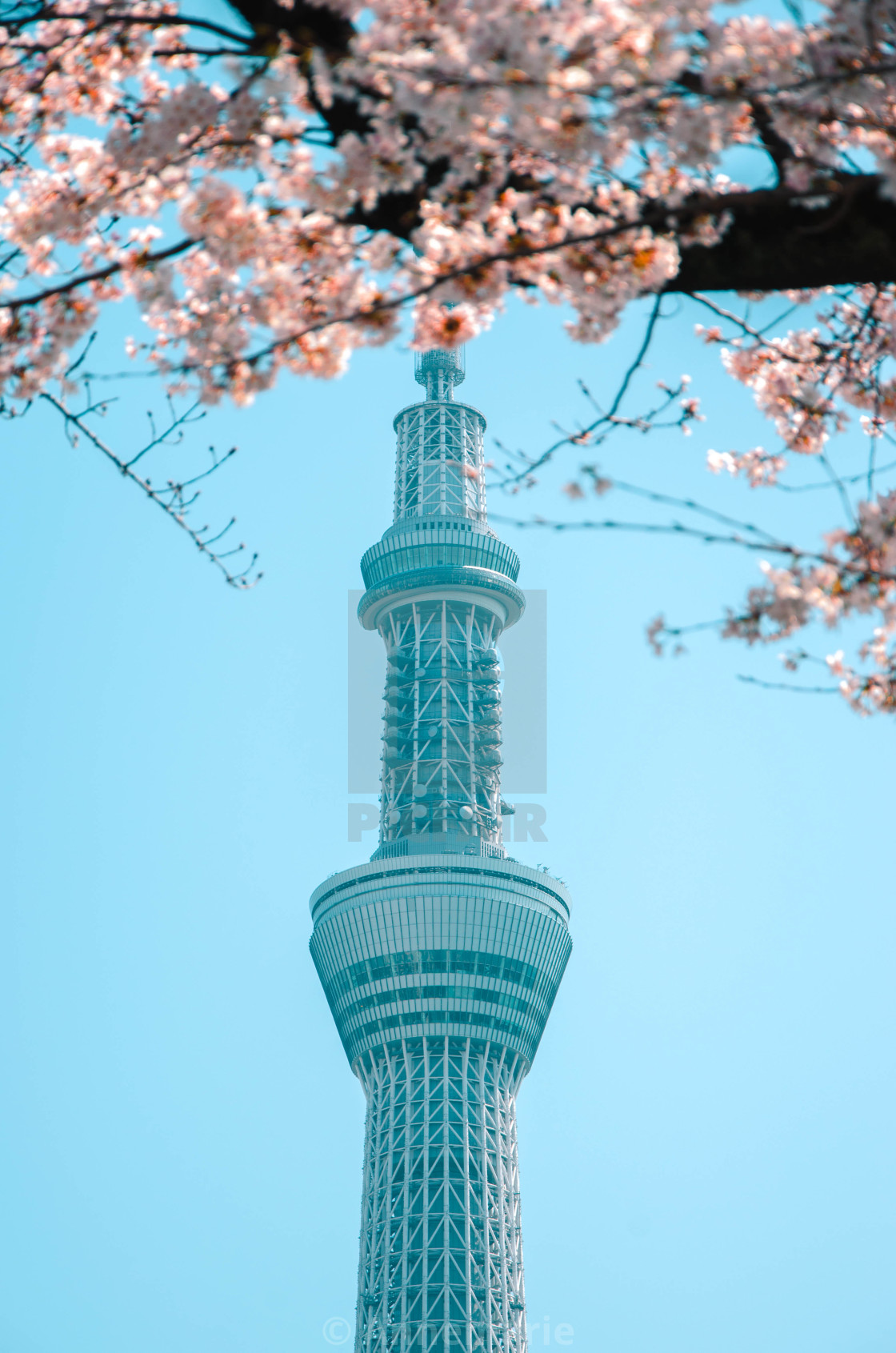 """Skytree tower with sakura tree 3"" stock image"