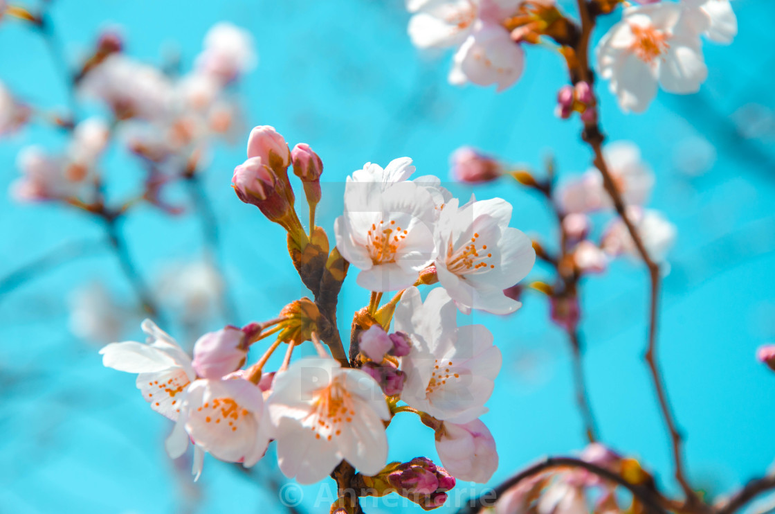 """""""Soft pink cherry blossoms in Japan"""" stock image"""