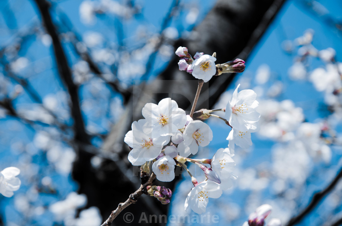 """White cherry blossoms in Japan"" stock image"