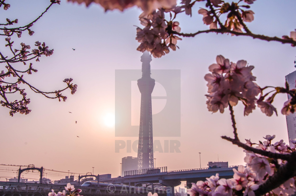 """Skytree with cherry blossoms 1"" stock image"