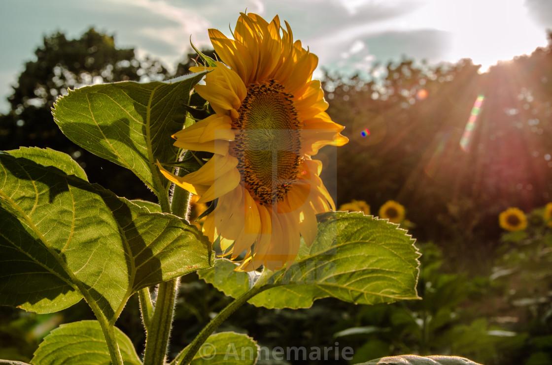"""Sunflower with sunshine"" stock image"
