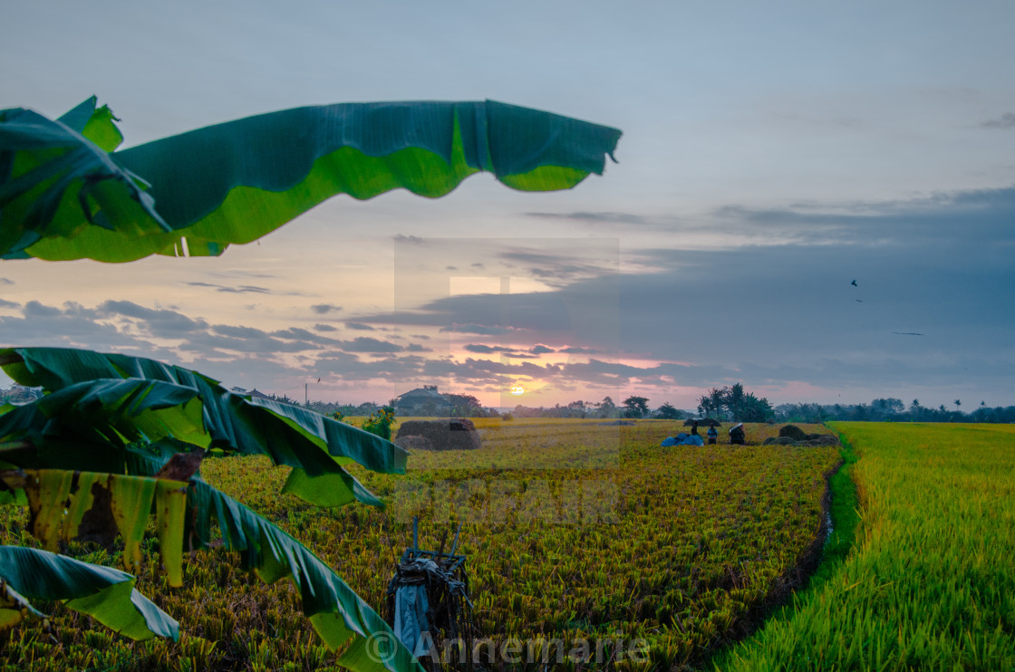 """""""Sunset over lush rice fields in Bali"""" stock image"""