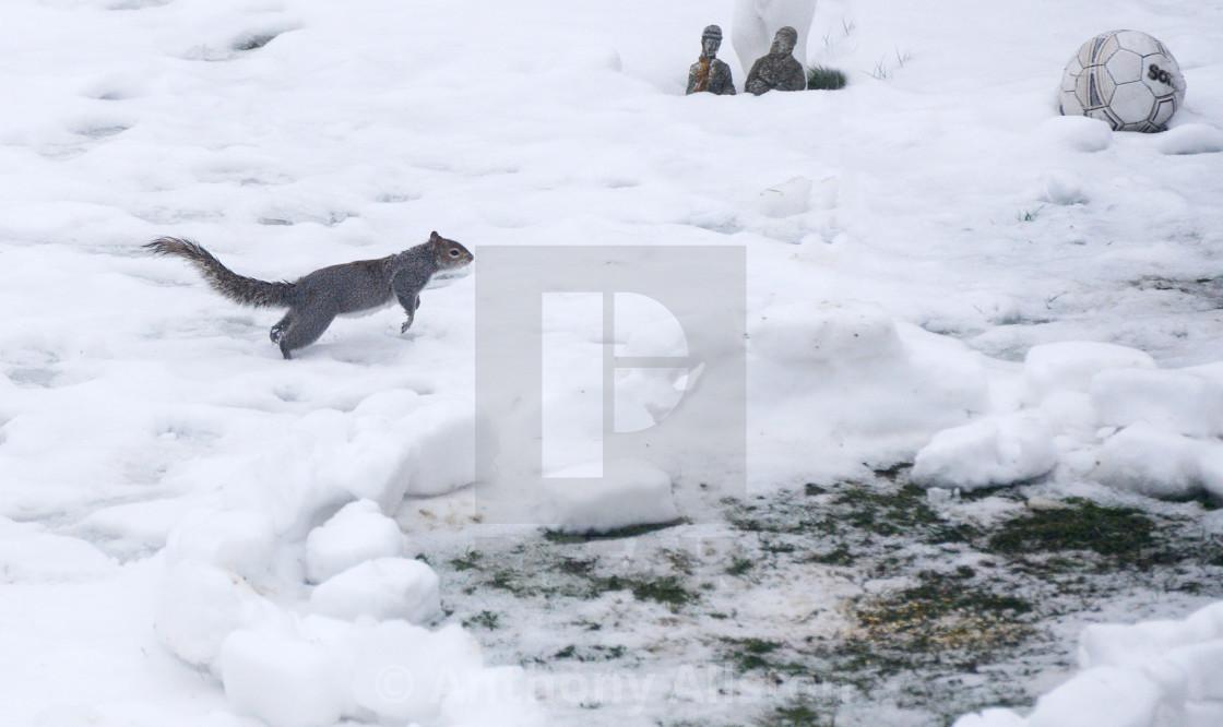 """Grey squirrel running in snow"" stock image"