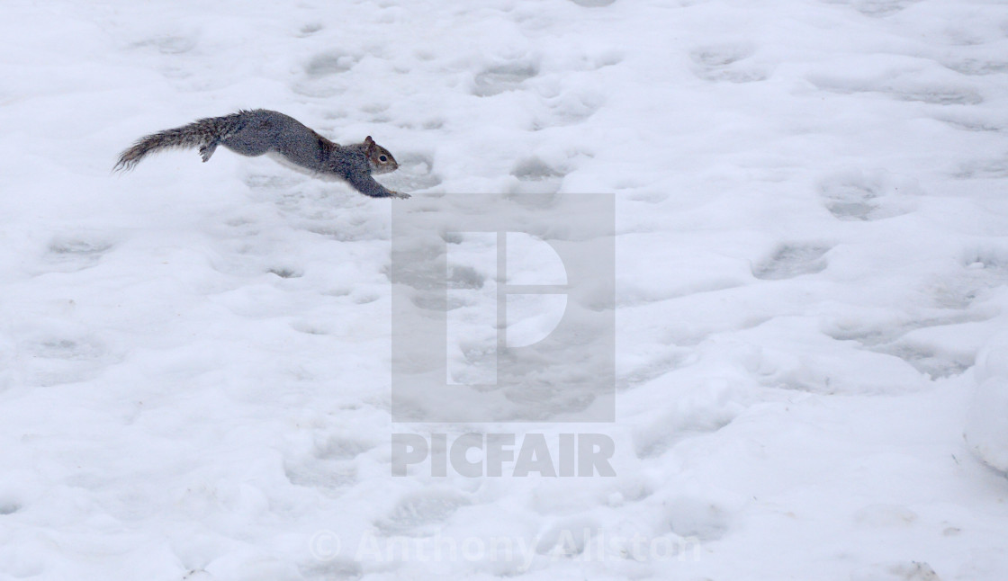 """Grey squirrel in snow"" stock image"