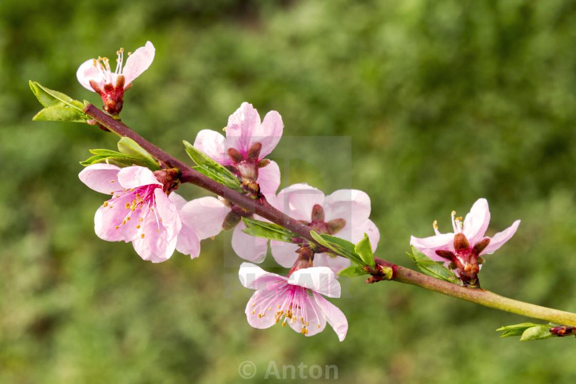 """pink peach flowers. Spring flowering of trees"" stock image"