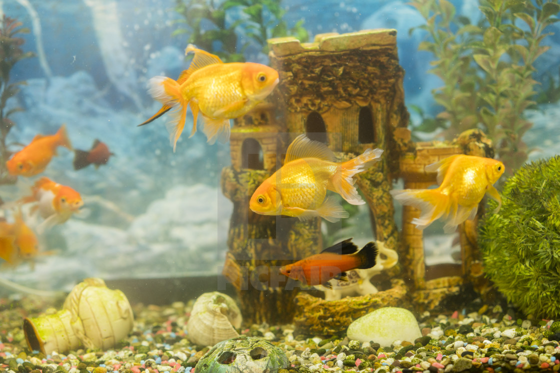 Goldfish In Freshwater Aquarium With Green Beautiful Planted Tropical Fish License Download Or Print For 1 00 Photos Picfair