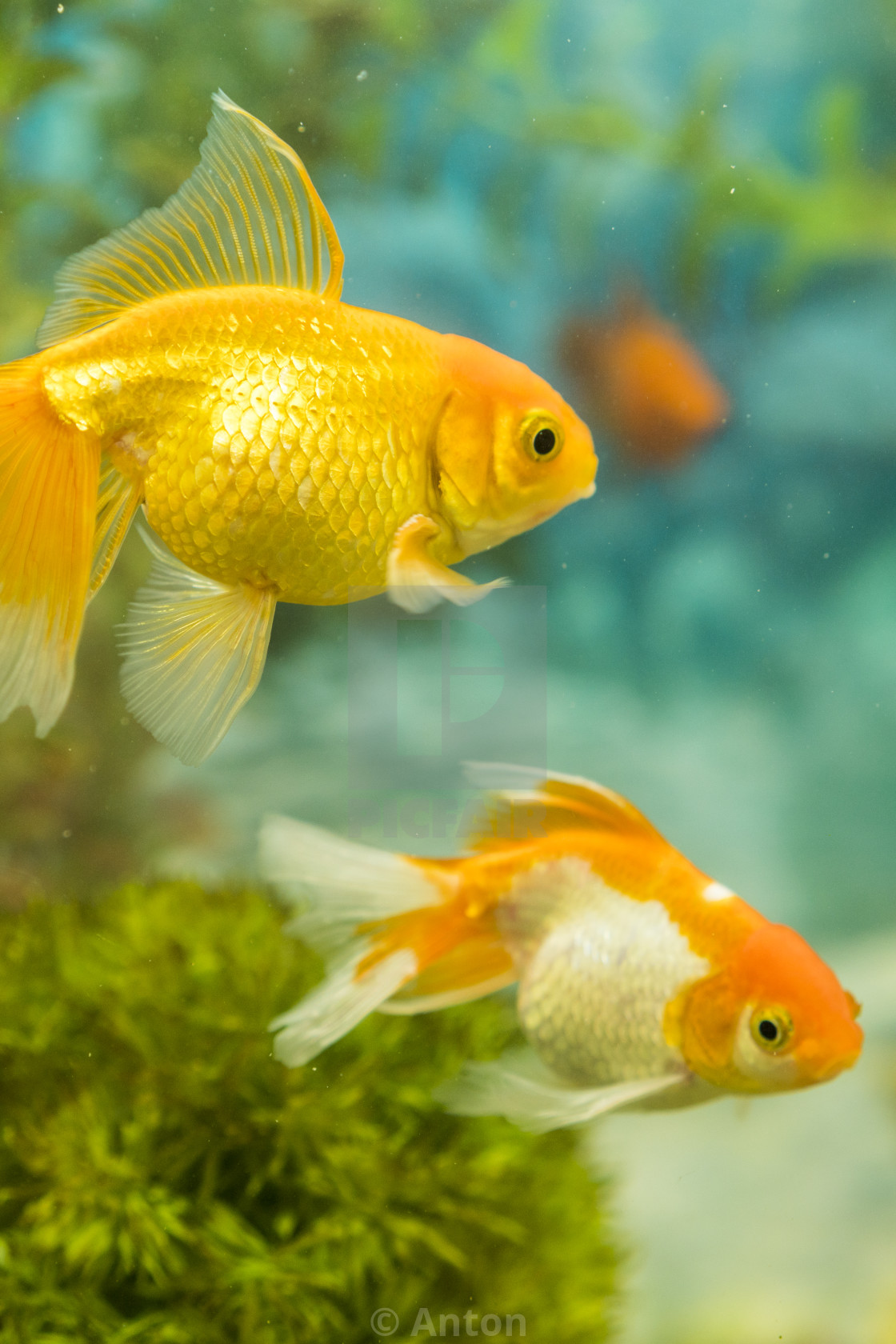 Goldfish In Freshwater Aquarium With Green Beautiful Planted Tropical Fish License Download Or Print For 1 24 Photos Picfair