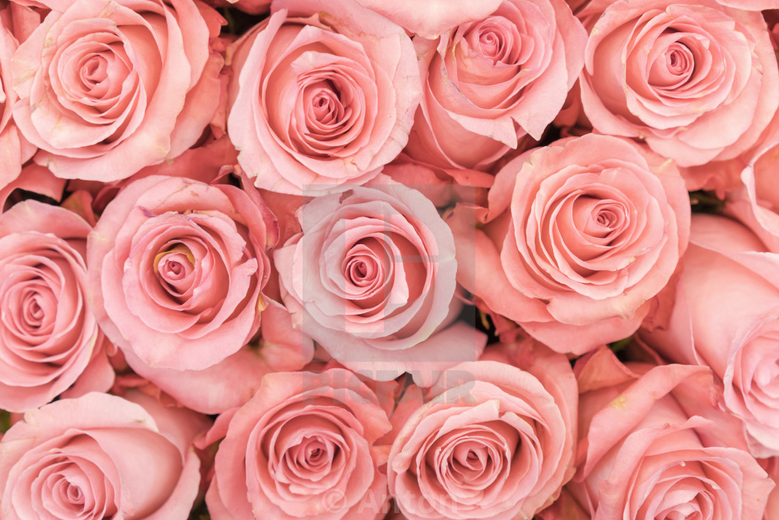 background of pink orange and peach roses fresh pink roses a huge bouquet license download or print for 1 24 photos picfair https www picfair com pics 08425914 background of pink orange and peach roses fresh pink roses a huge bouquet