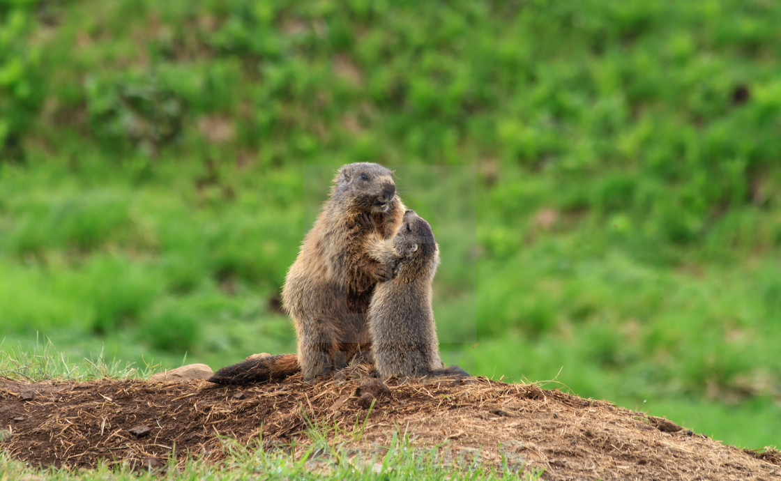 """Female marmot with young"" stock image"