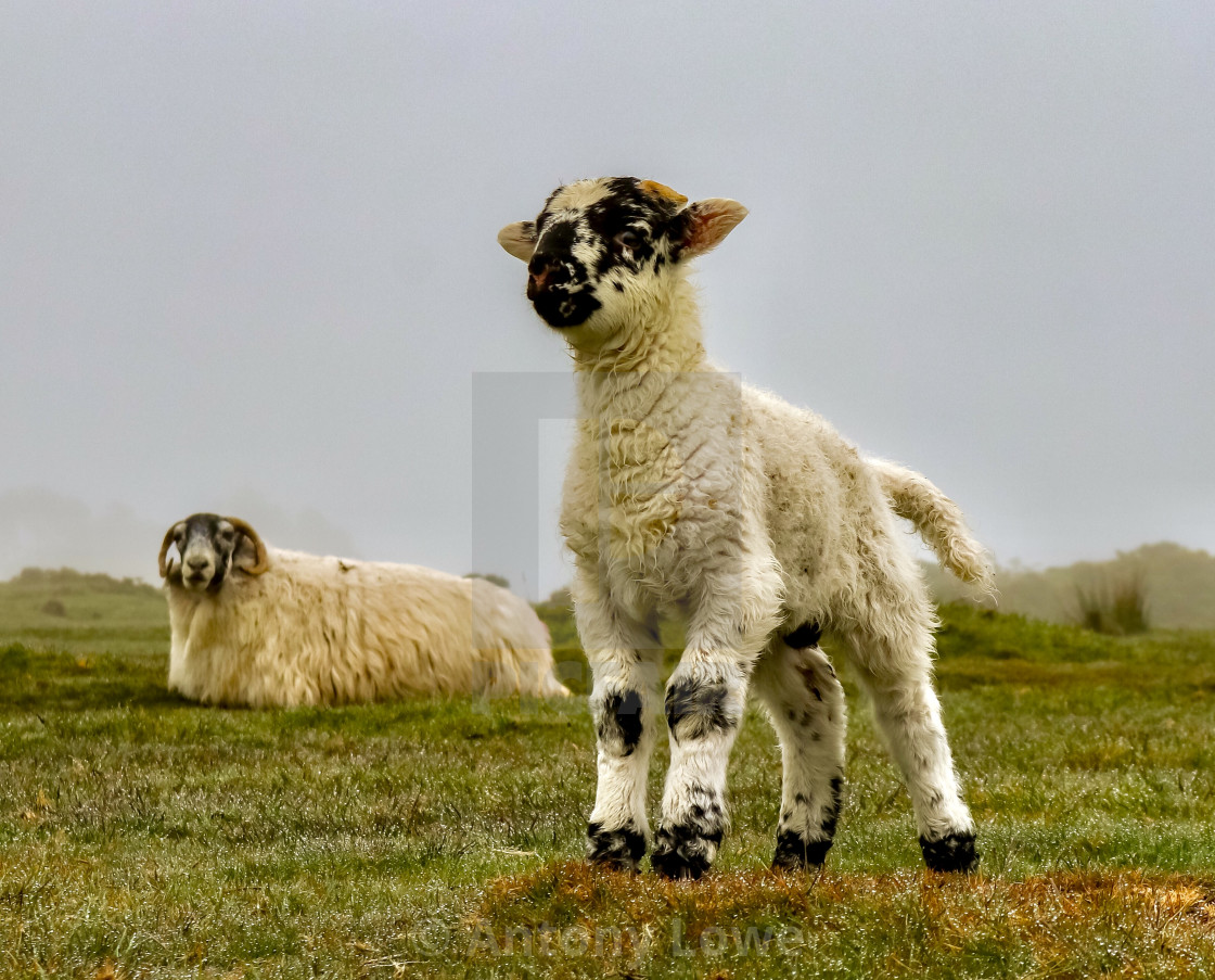 """Posing Lamb"" stock image"