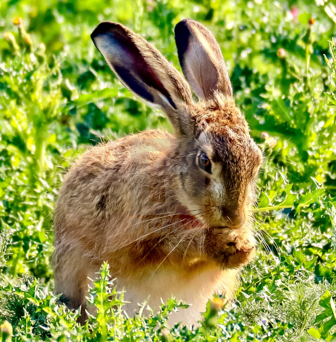 """Washing Hare"" stock image"