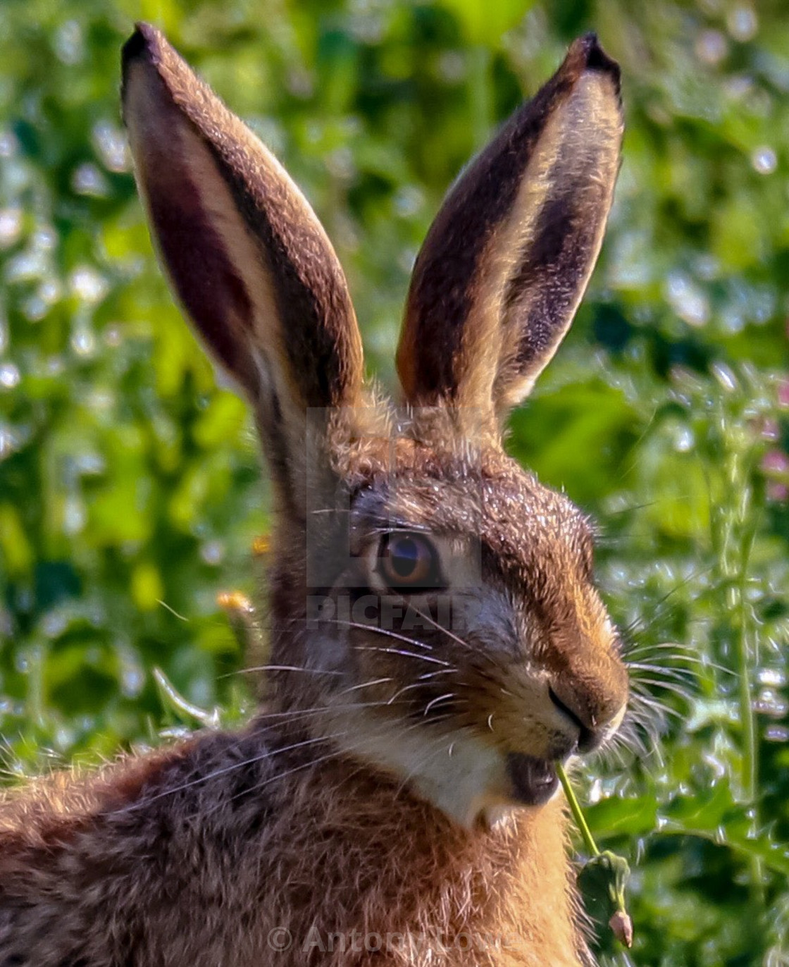"""""""Dining Hare"""" stock image"""
