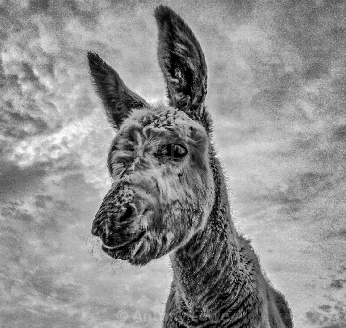 """Donkey Foal"" stock image"