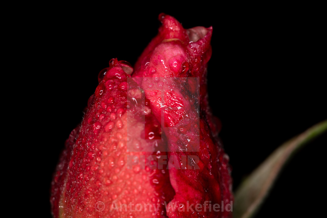 """Dark Pink Rose Bud"" stock image"