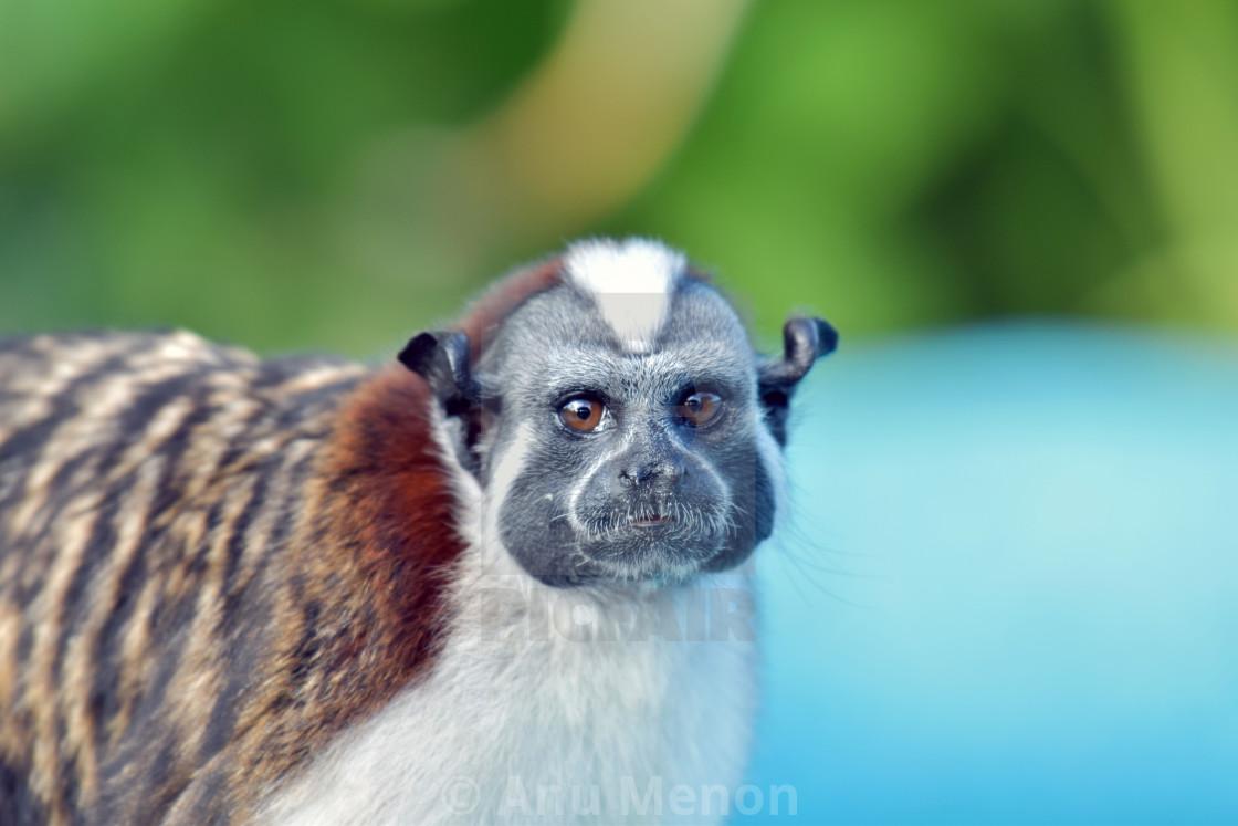 """Tamarin monkey, Panama rainforest"" stock image"