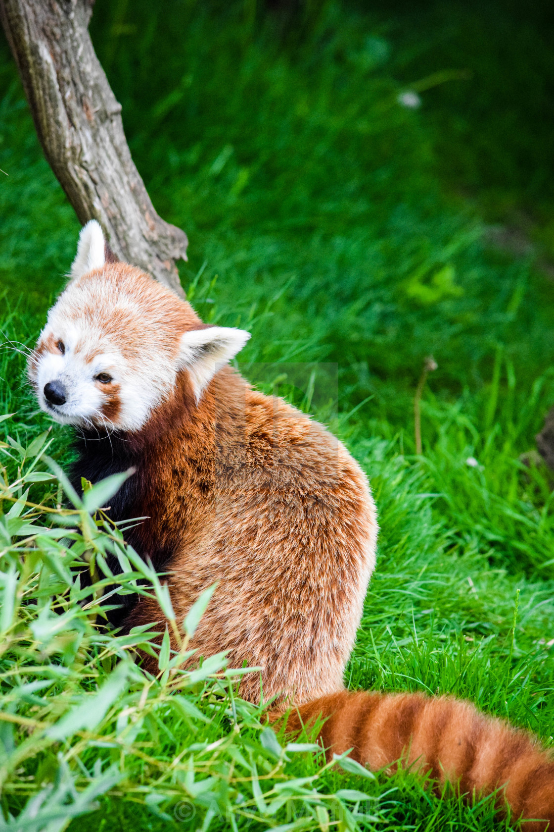 """Red Panda"" stock image"