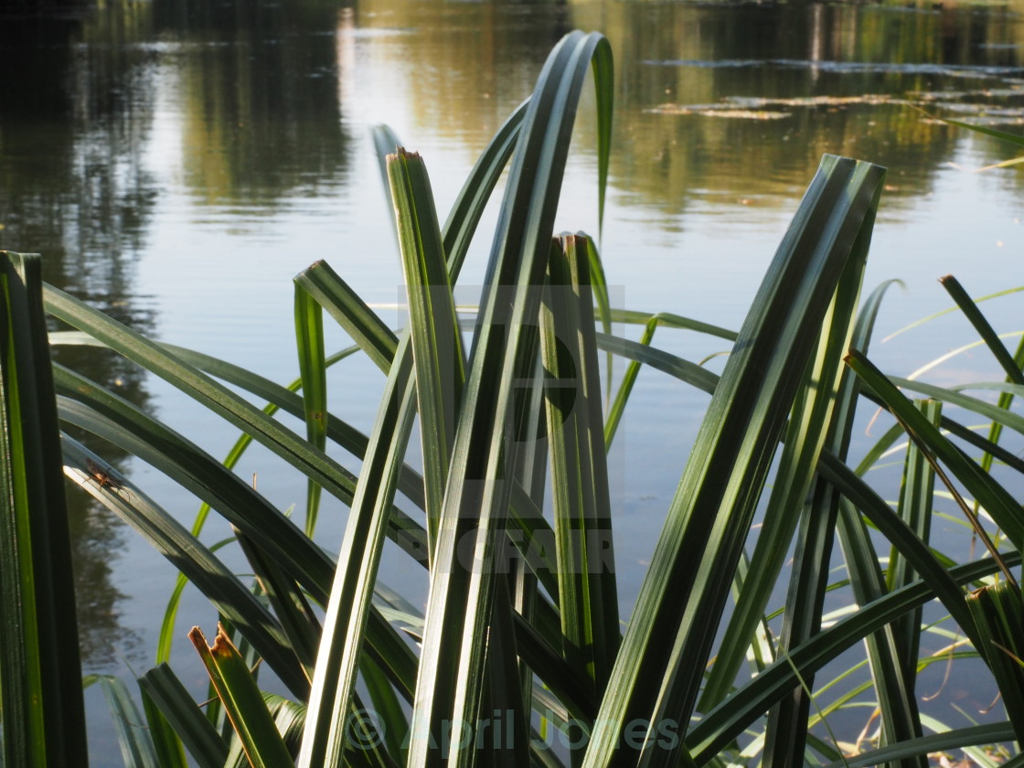 """""""Reeds in the autumn light"""" stock image"""