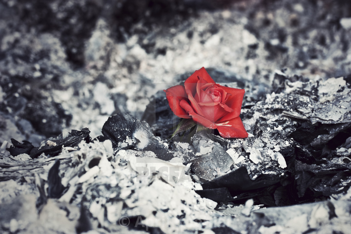 Beauty Rises from the Ashes