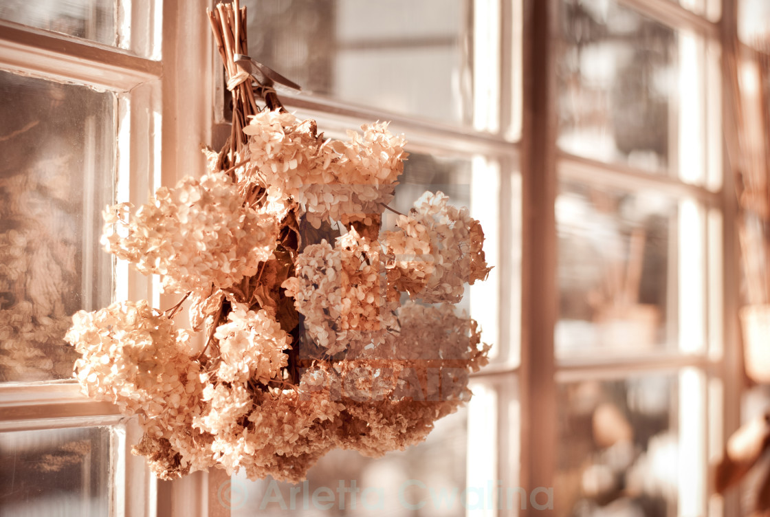 """""""hortensia old dried bouquet hang in window"""" stock image"""