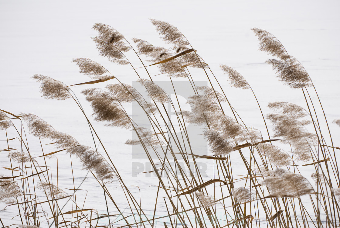 """Coastal Typha reeds in wintertime"" stock image"