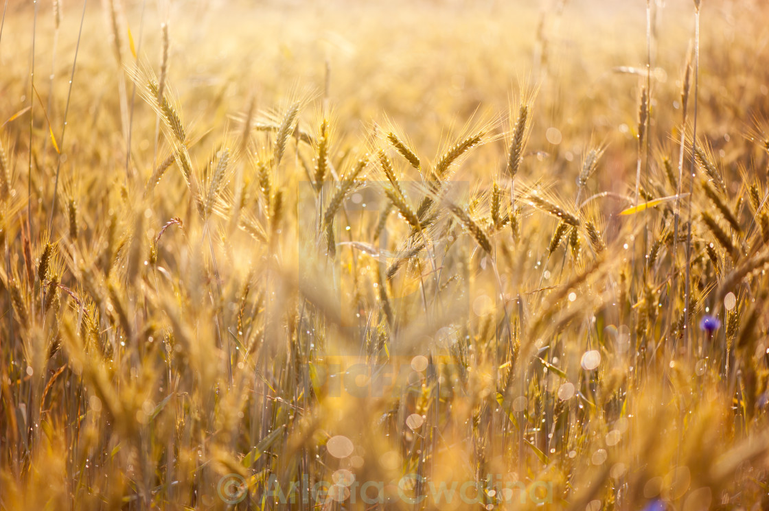 """""""Cereal field after the rain"""" stock image"""