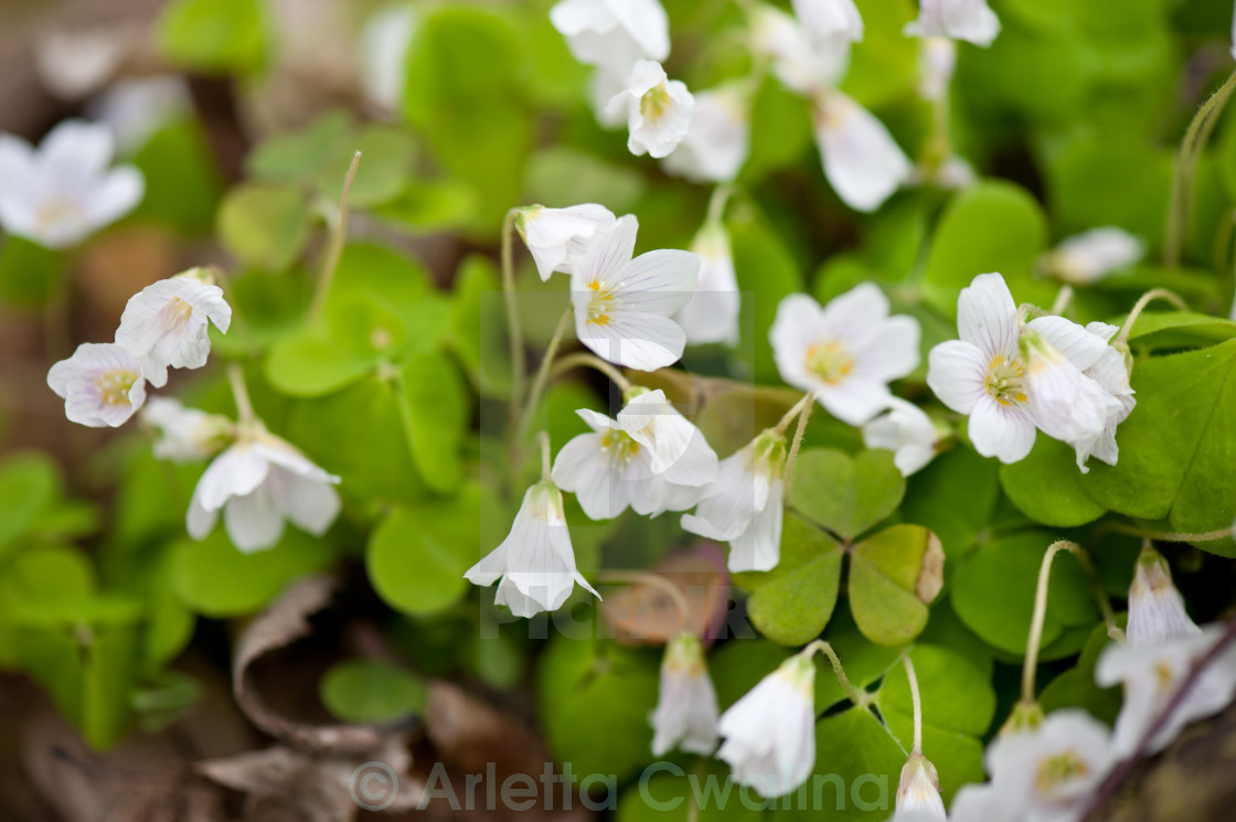 """Wood sorrel bloom macro"" stock image"