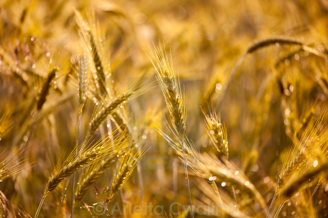 """Raindrops on golden cereal plants"" stock image"