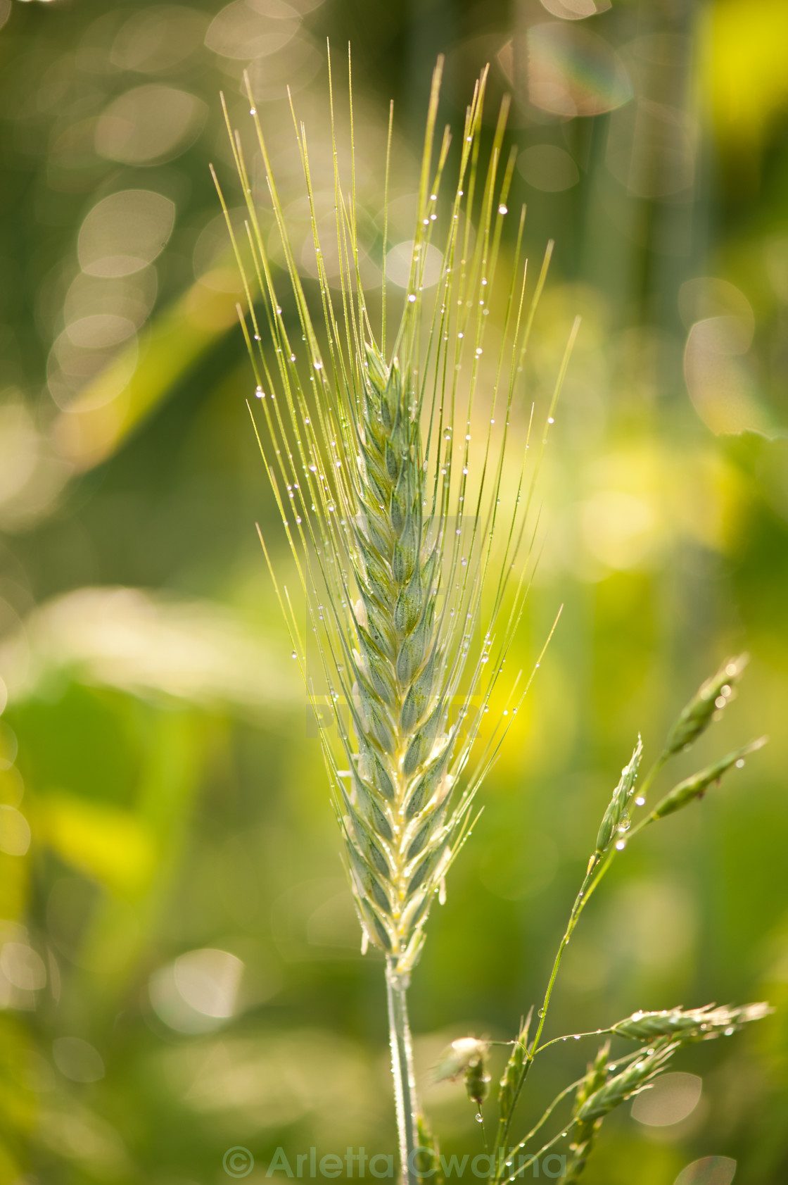 """Raindrops on cereal rye plant"" stock image"