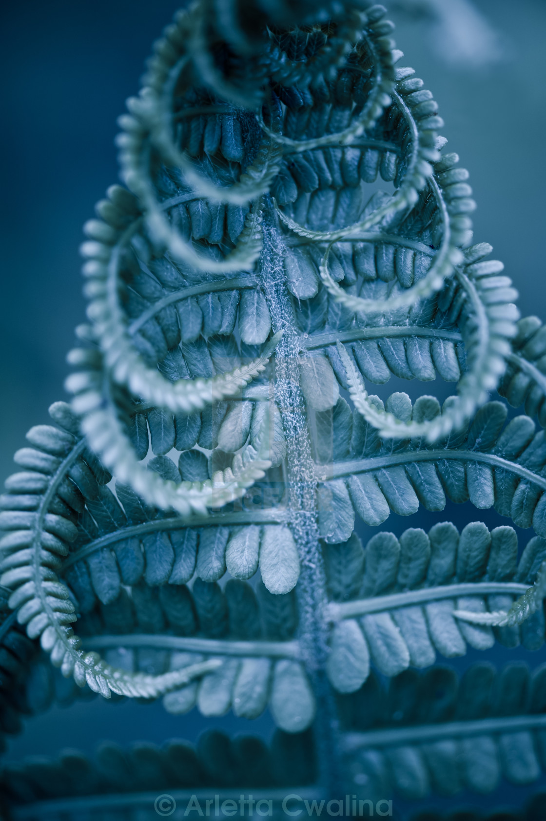 """Twisted fern blue leaf macro"" stock image"