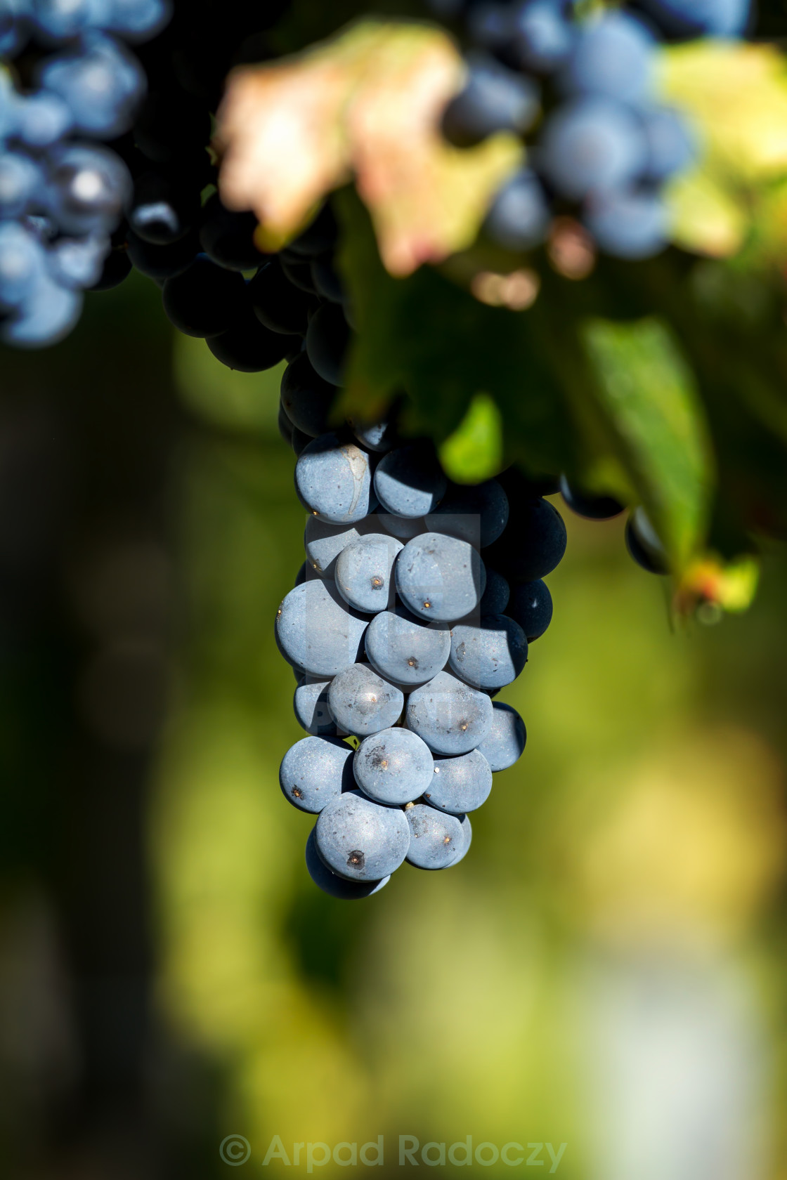 """Tasty blue grapes"" stock image"