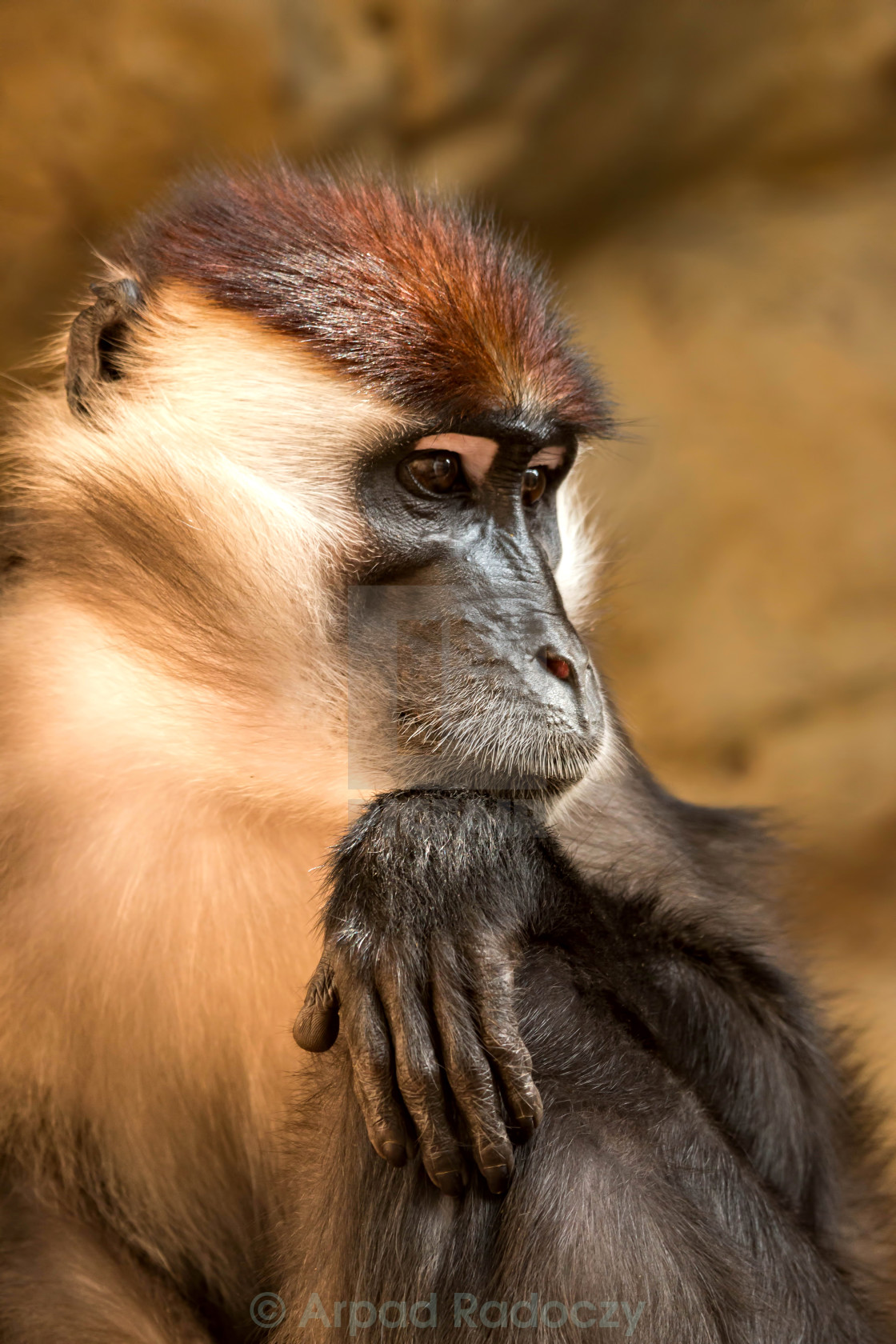 """Collared mangabey"" stock image"