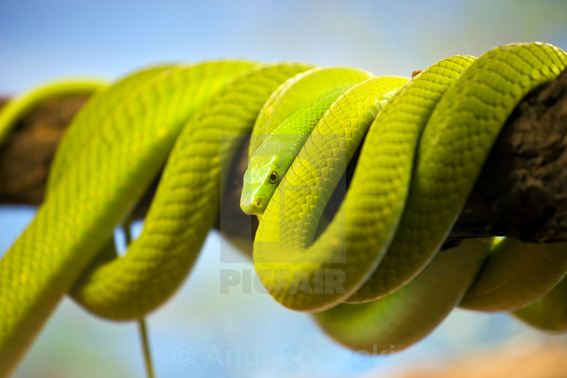 """Green Mamba Coiled Up on a Branch"" stock image"