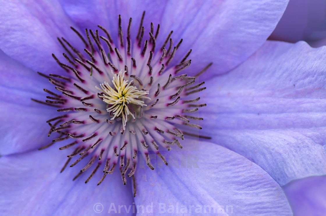 """""""Clematis"""" stock image"""