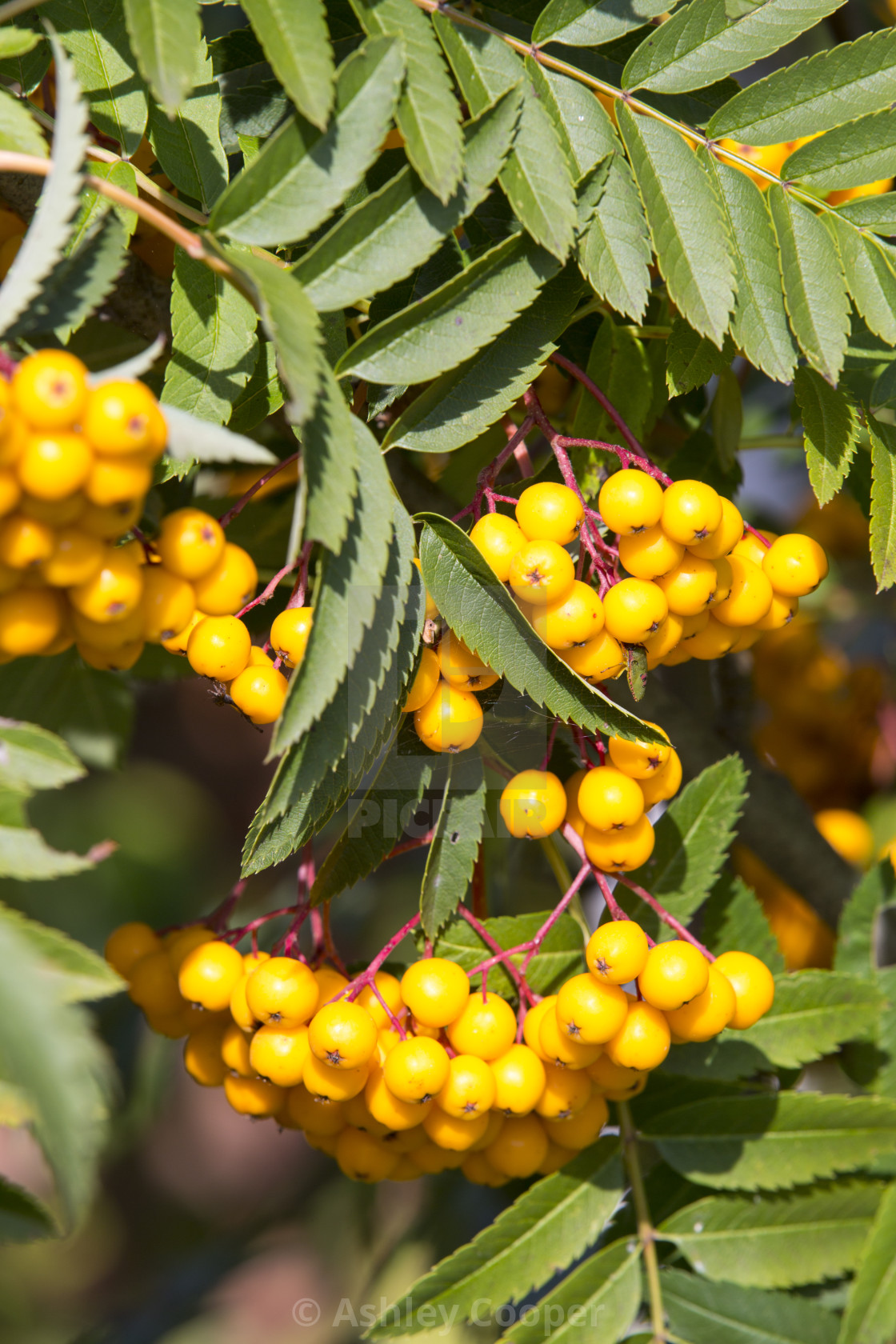 Orange Berries On A Rowan Tree License Download Or Print For