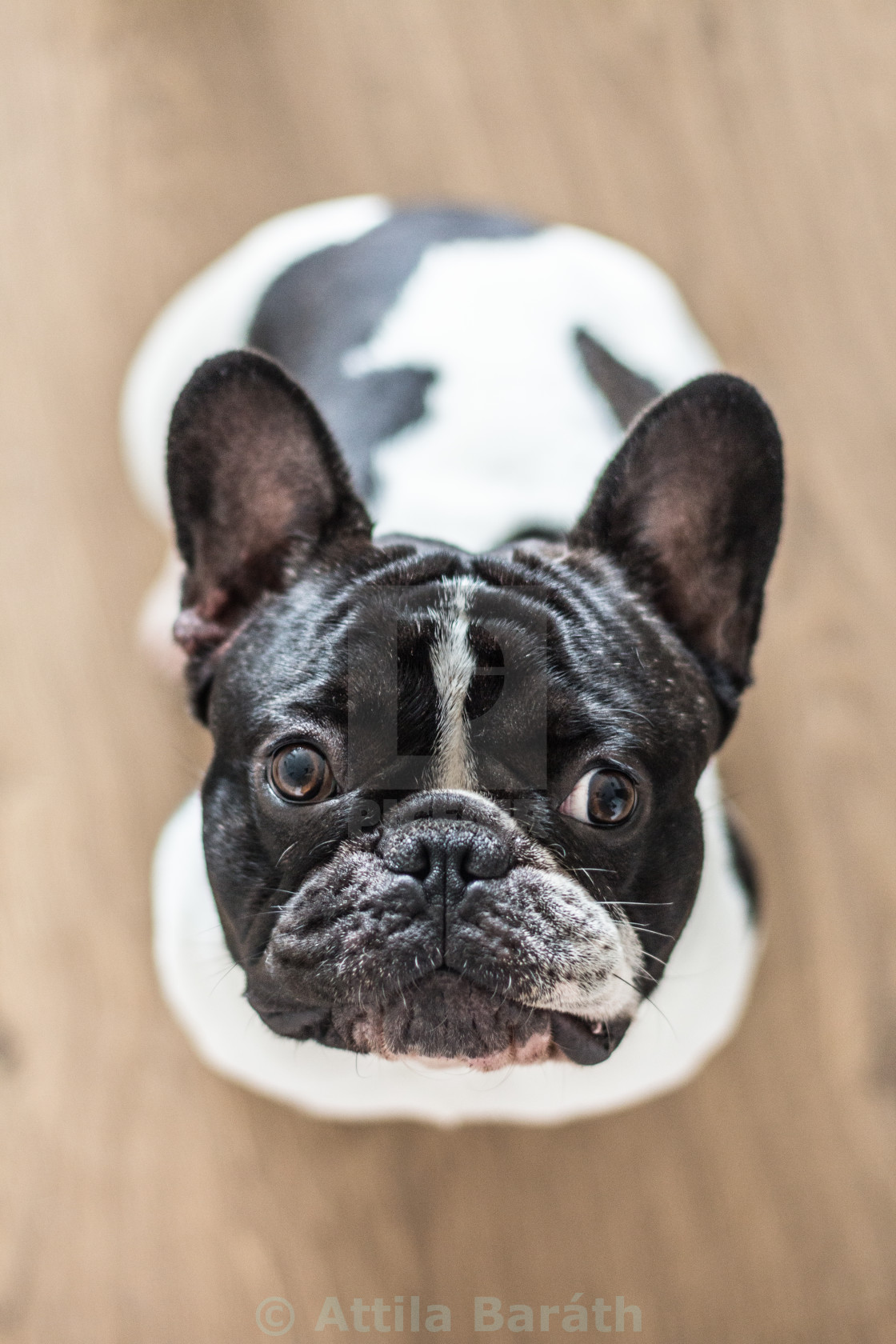 """French bulldog looking up"" stock image"