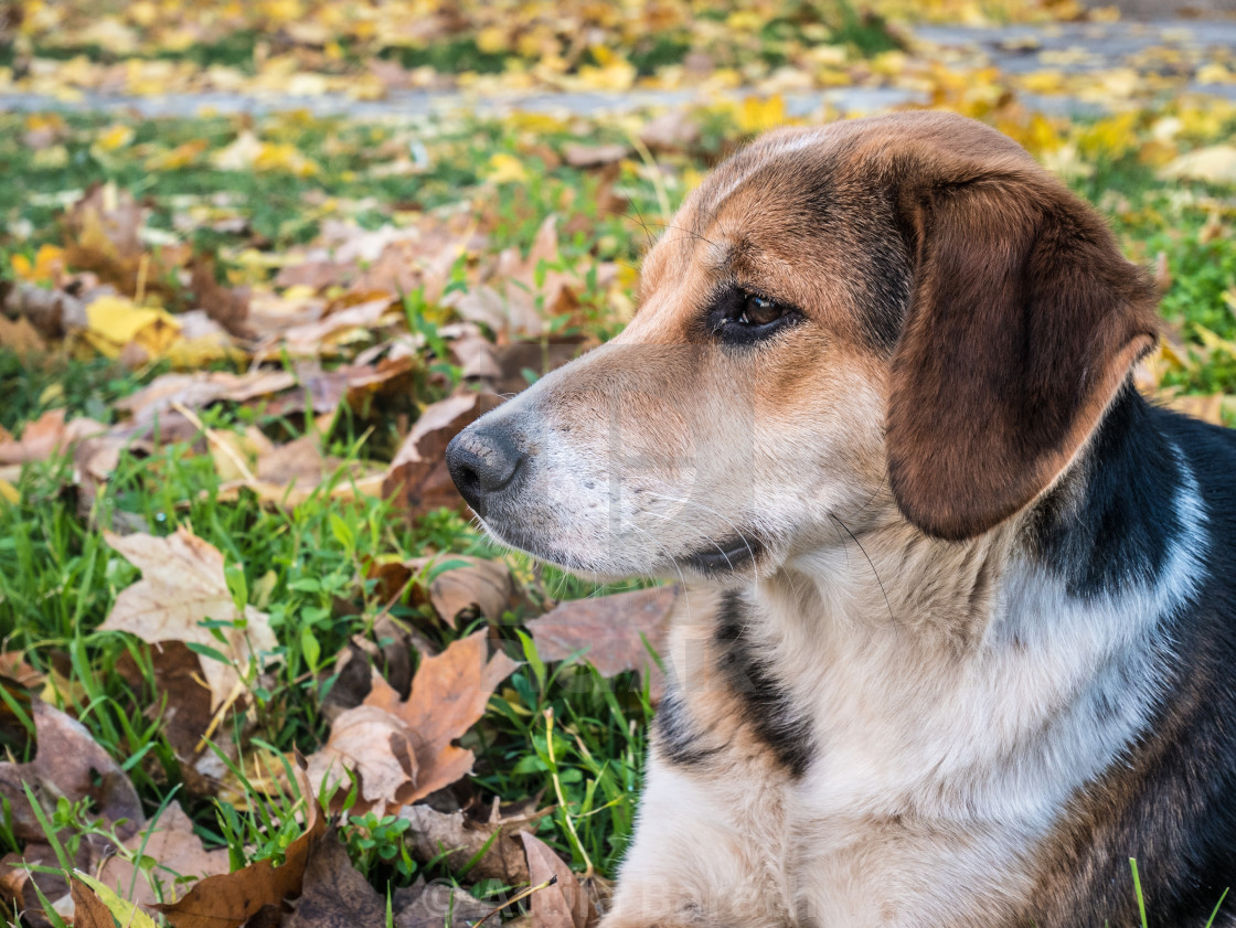 """Spotted dog looking thoughtfully"" stock image"
