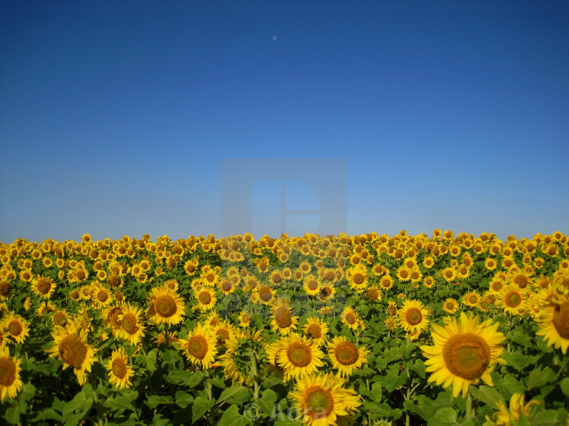"""Sunflowers on the Prairie"" stock image"