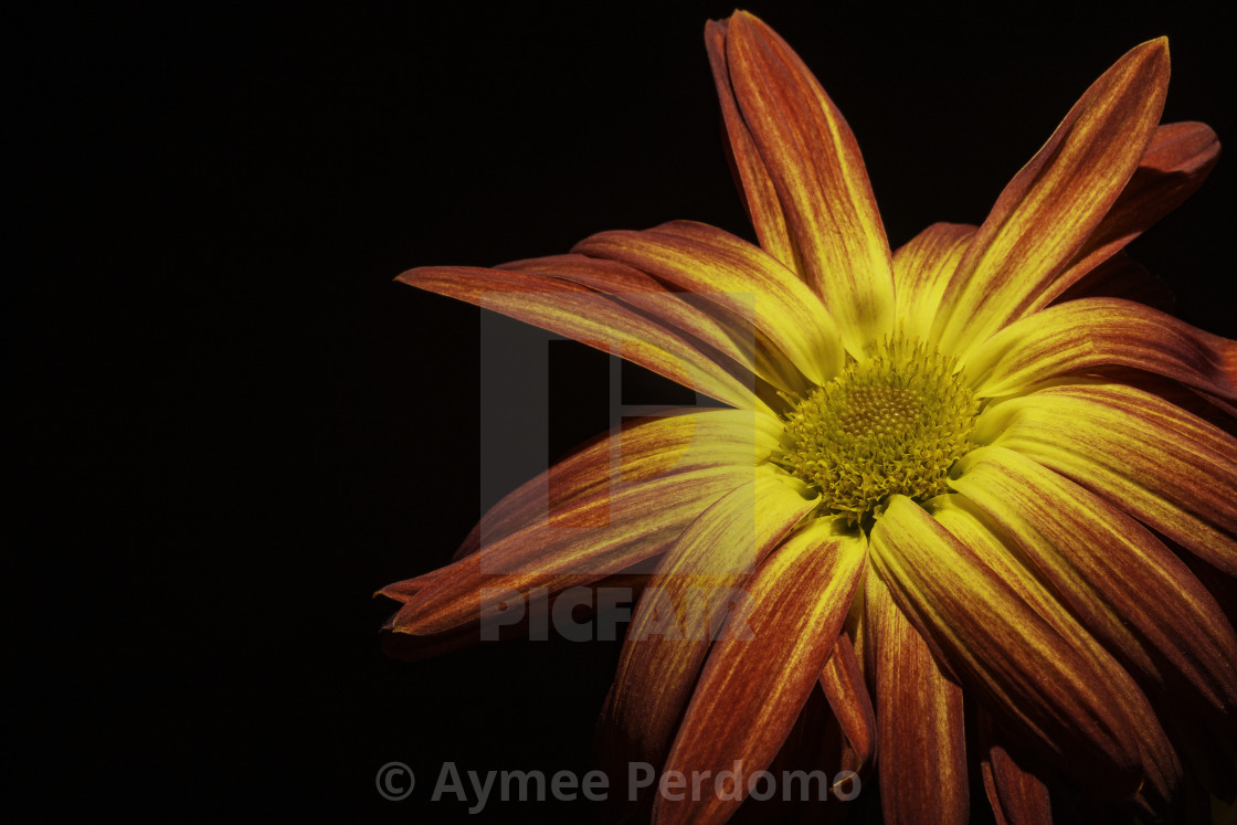 Red Orange Yellow Flower On Black Background License Download Or Print For 12 40 Photos Picfair