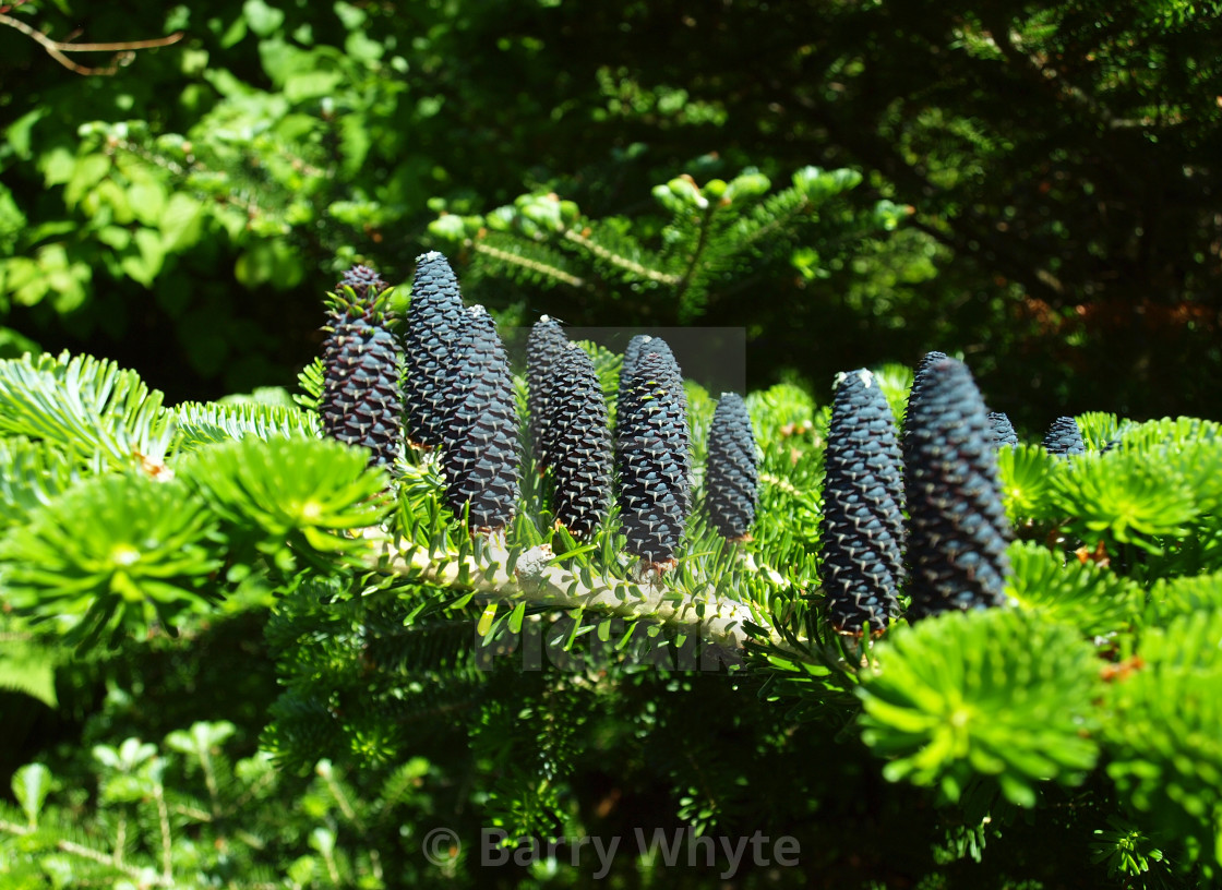 """Korean Fir Tree"" stock image"