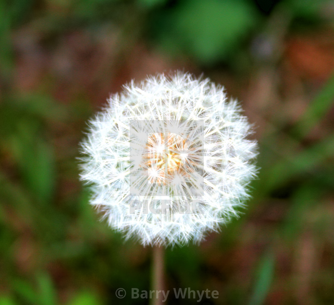 """Red Seeded Dandelion"" stock image"