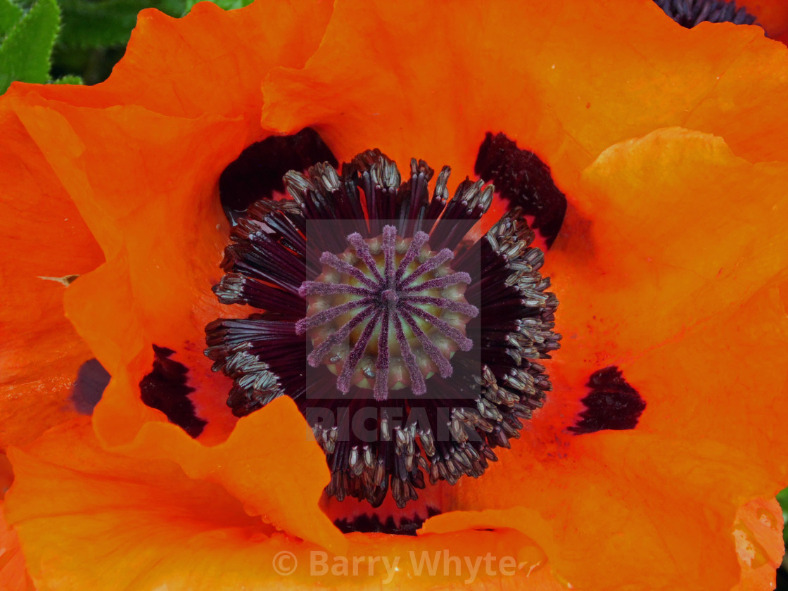 """Common Poppy"" stock image"